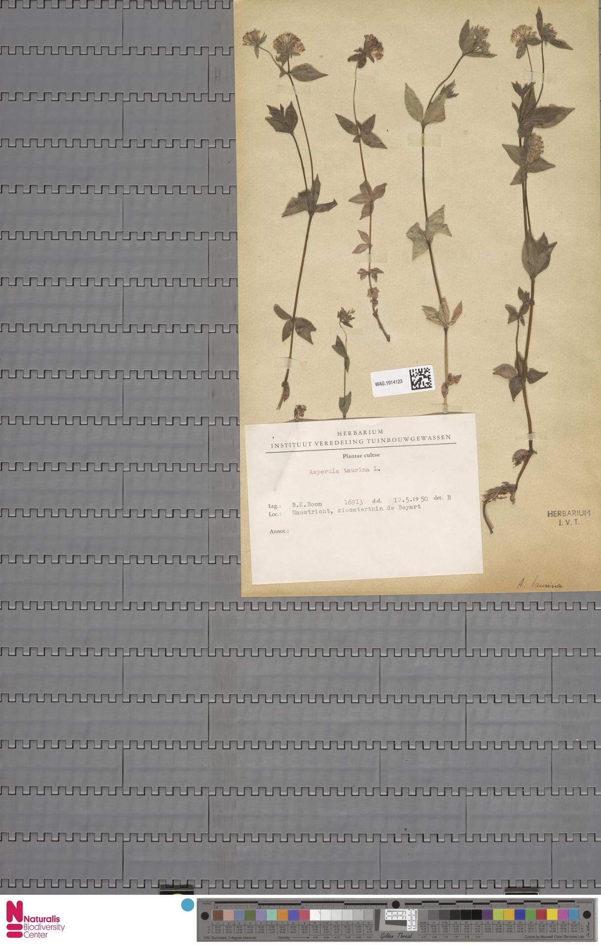 WAG.1914123 | Asperula aristata L.f.