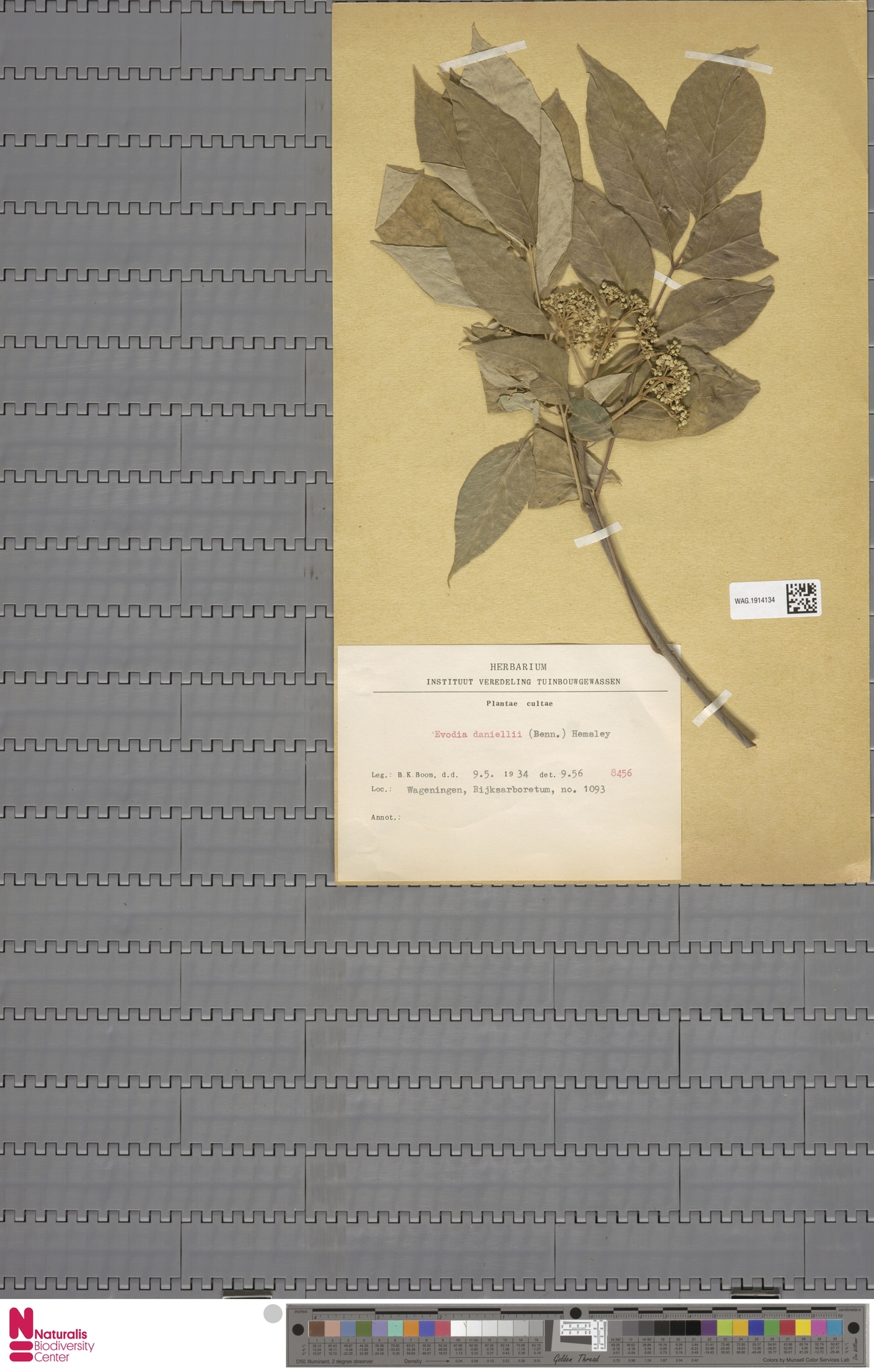 WAG.1914134   Evodia daniellii (Benn.) Hemsl.
