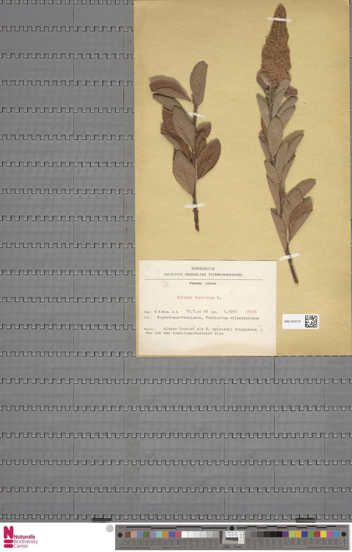 WAG.1914174 | Spiraea tomentosa L.