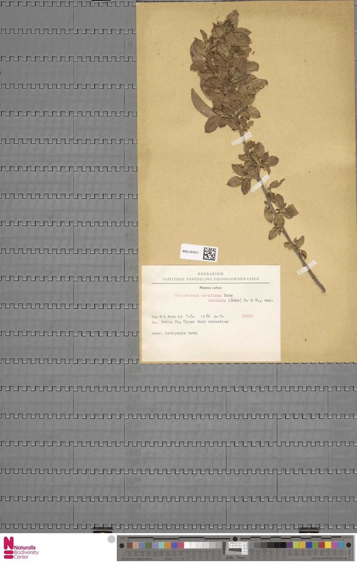 WAG.1914211 | Stranvaesia davidiana var. undulata (Decne.) Rehder & E.H.Wilson