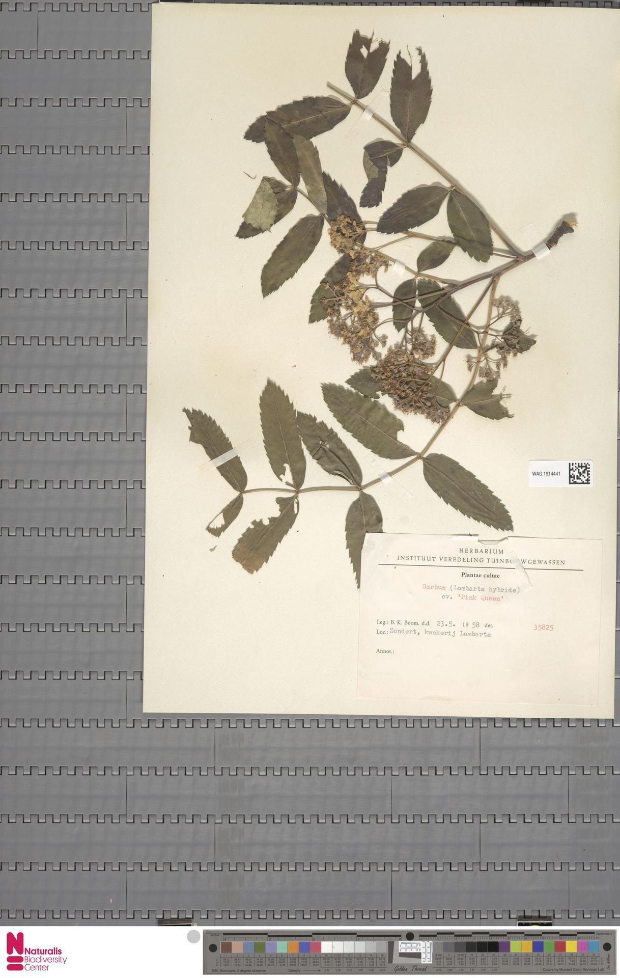 WAG.1914441 | Sorbus 'Pink Queen'