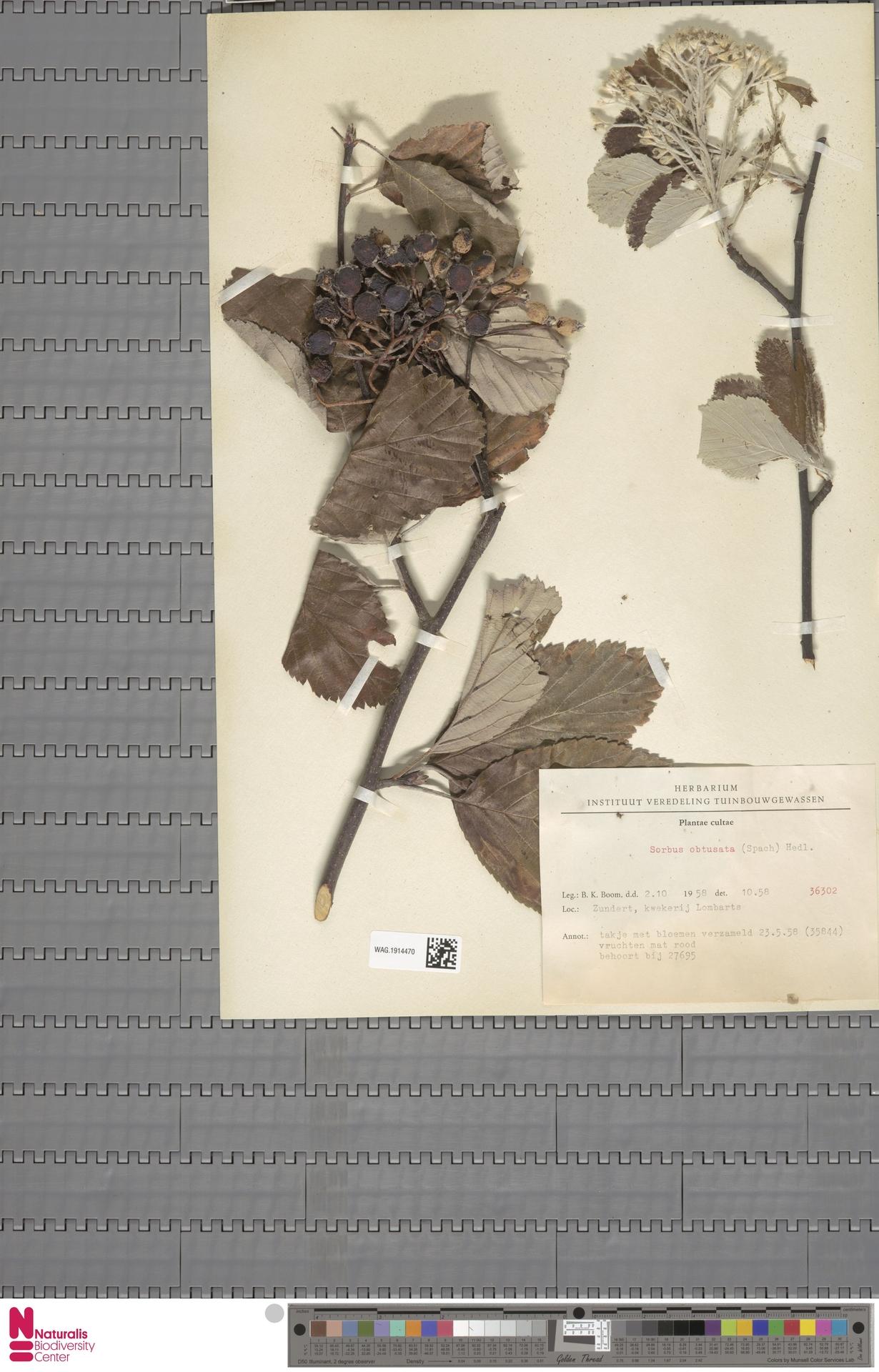 WAG.1914470 | Sorbus obtusata Hedl.