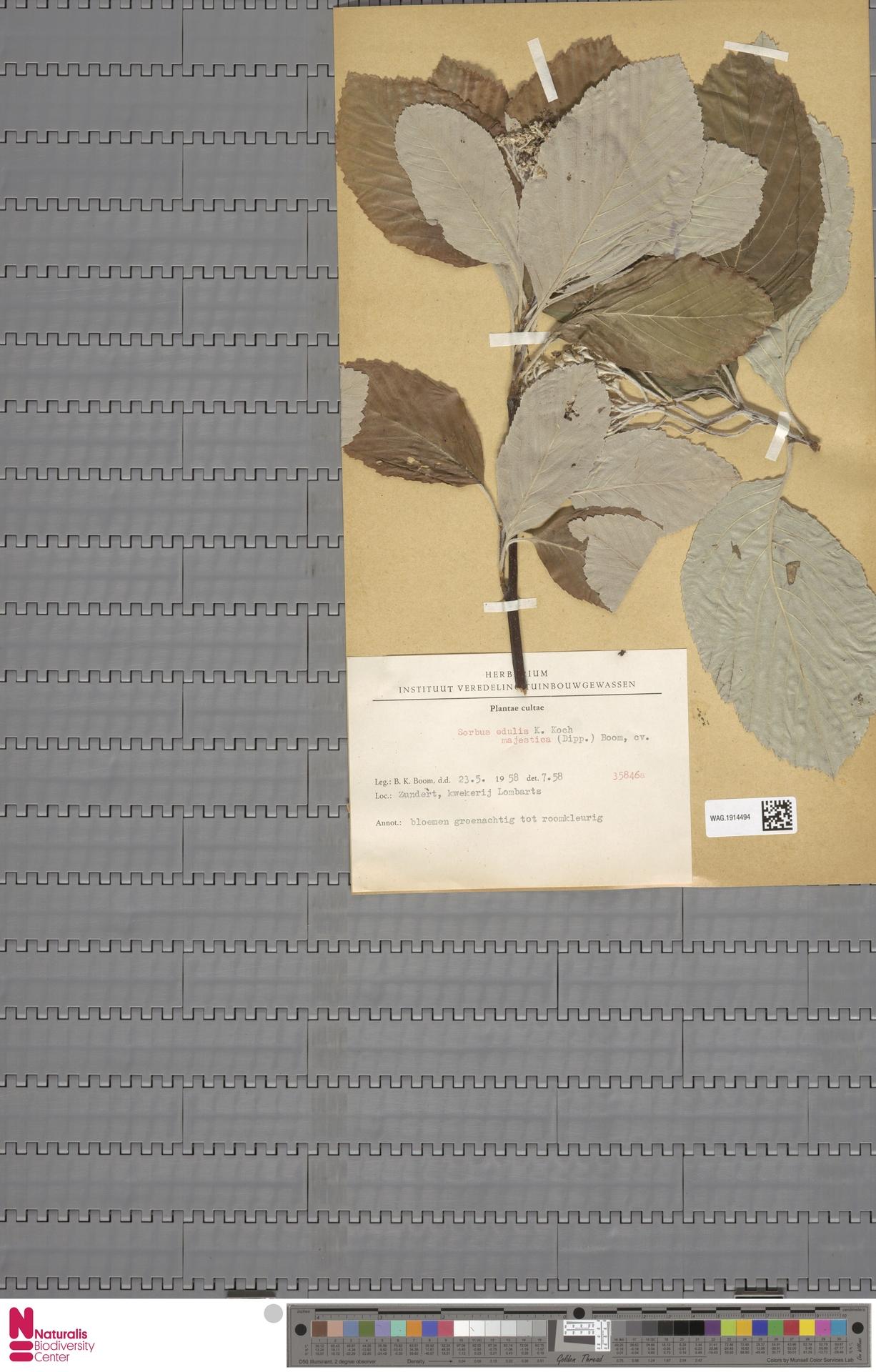 WAG.1914494 | Sorbus edulis unknown majestica (Dipp.) Boom.