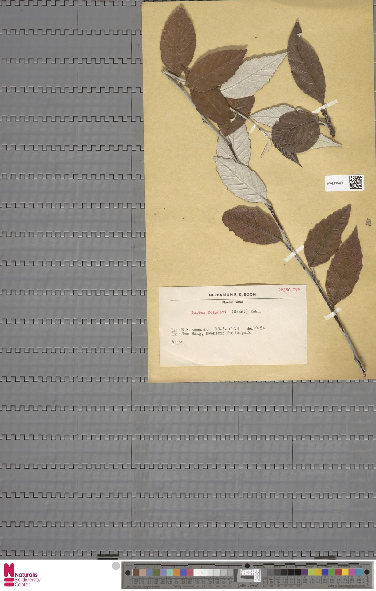 WAG.1914498 | Sorbus folgneri Rehder