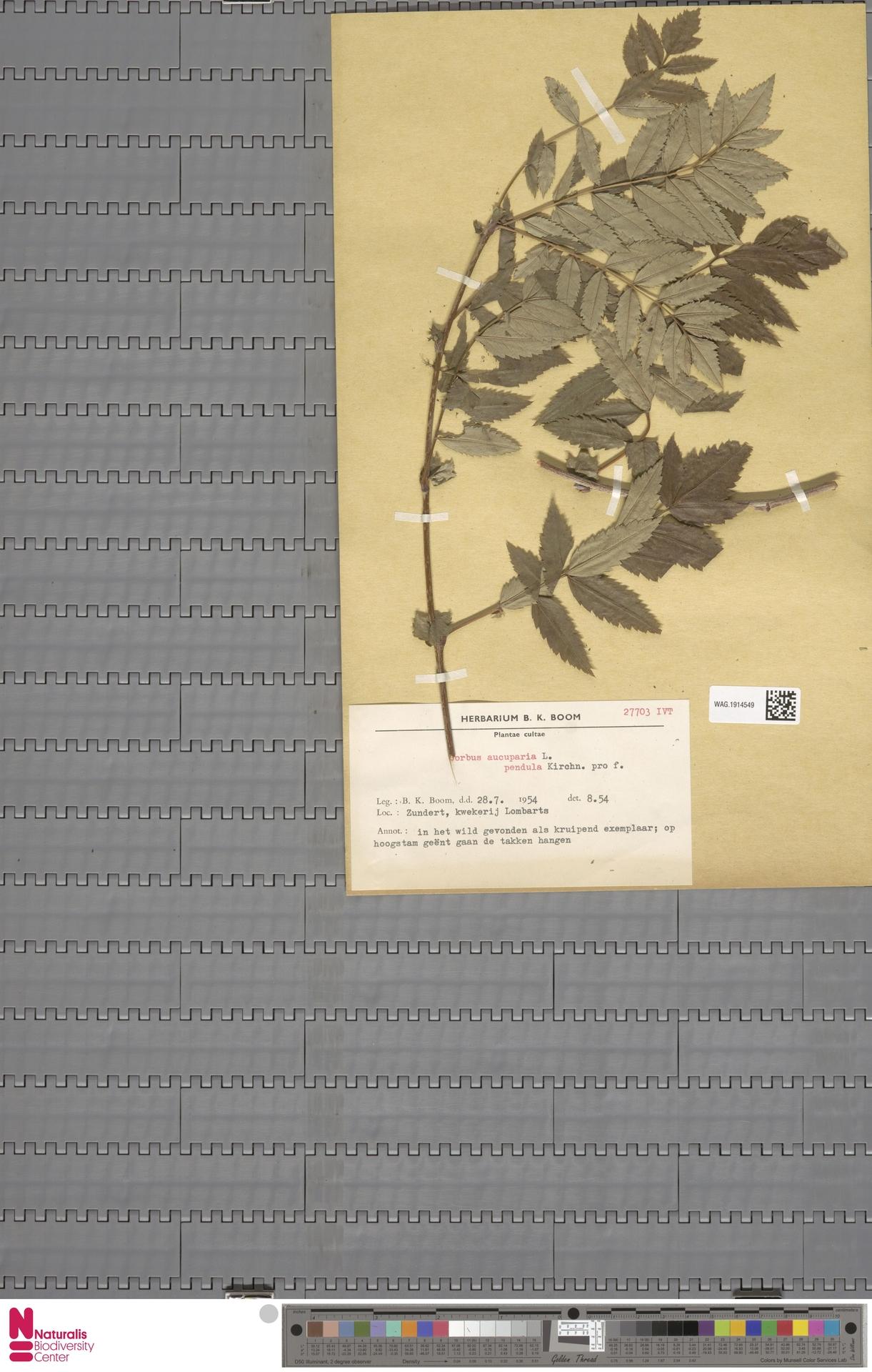 WAG.1914549 | Sorbus aucuparia unknown pendula Kirchn.
