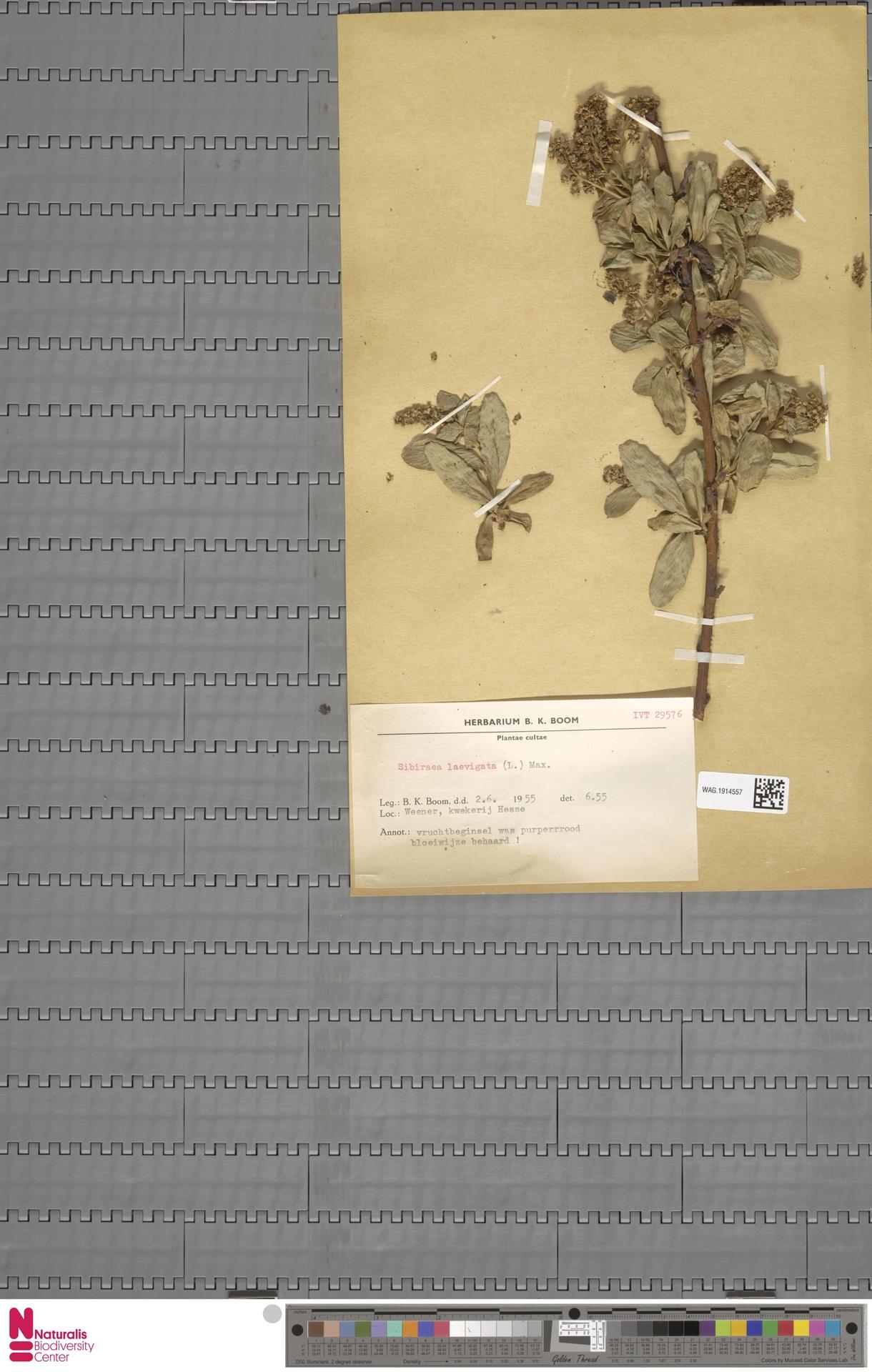 WAG.1914557 | Sibiraea laevigata (L.) Maxim.