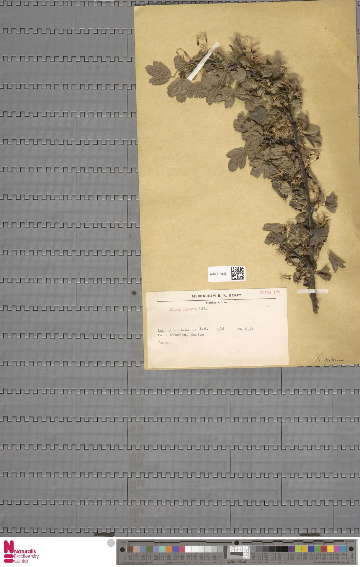 WAG.1914598 | Ribes niveum Lindl.
