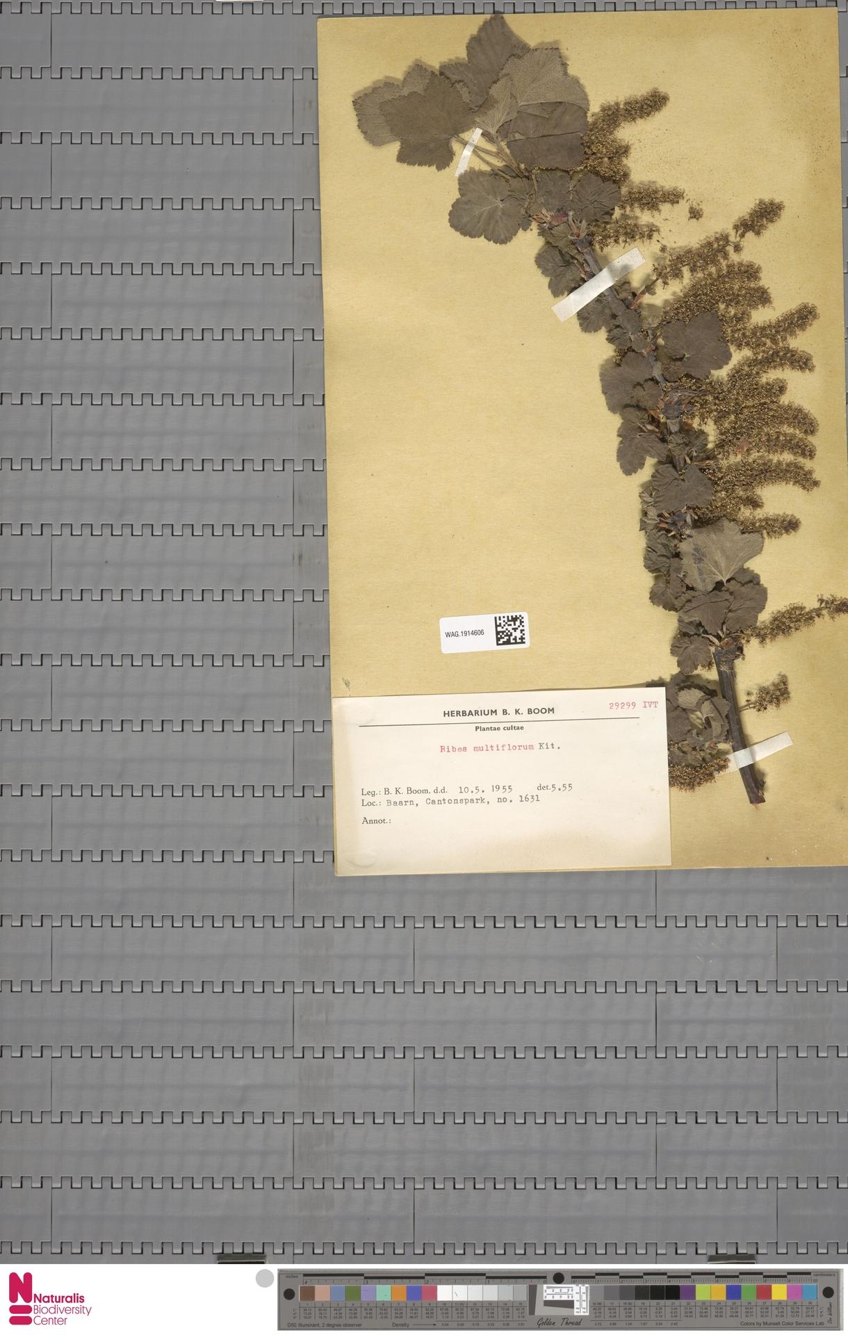 WAG.1914606   Ribes multiflorum Kit.