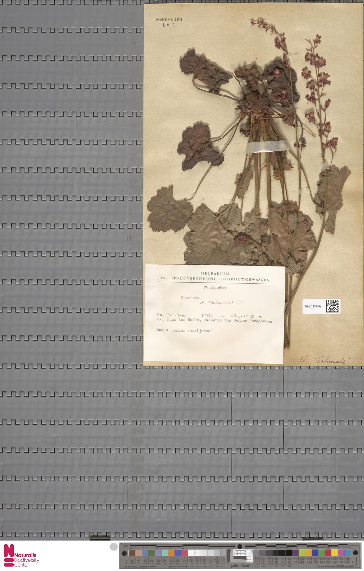 WAG.1914662 | Heuchera cv. 'Saturnale'