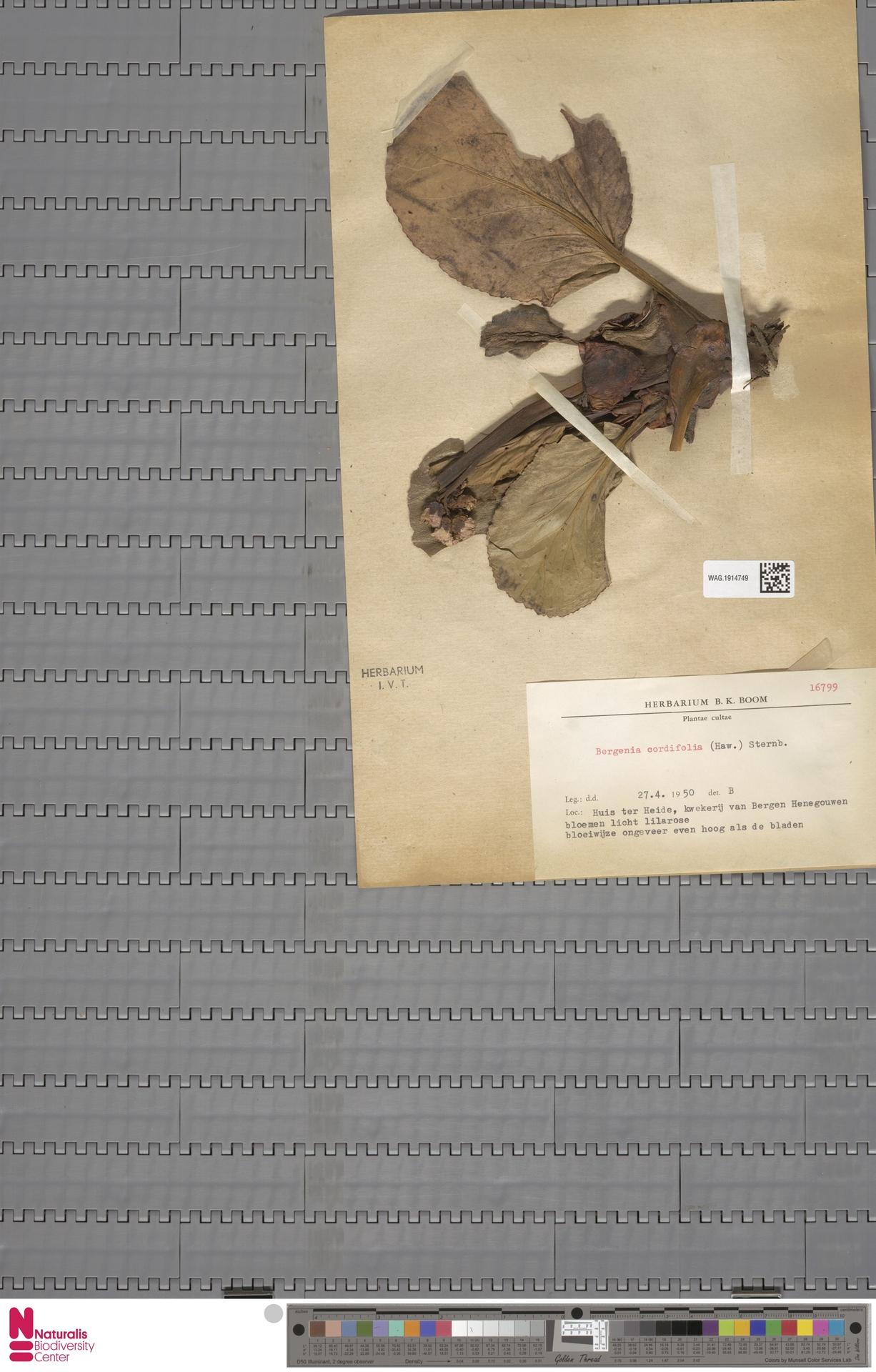 WAG.1914749   Bergenia cordifolia (Haw.) Sternb.