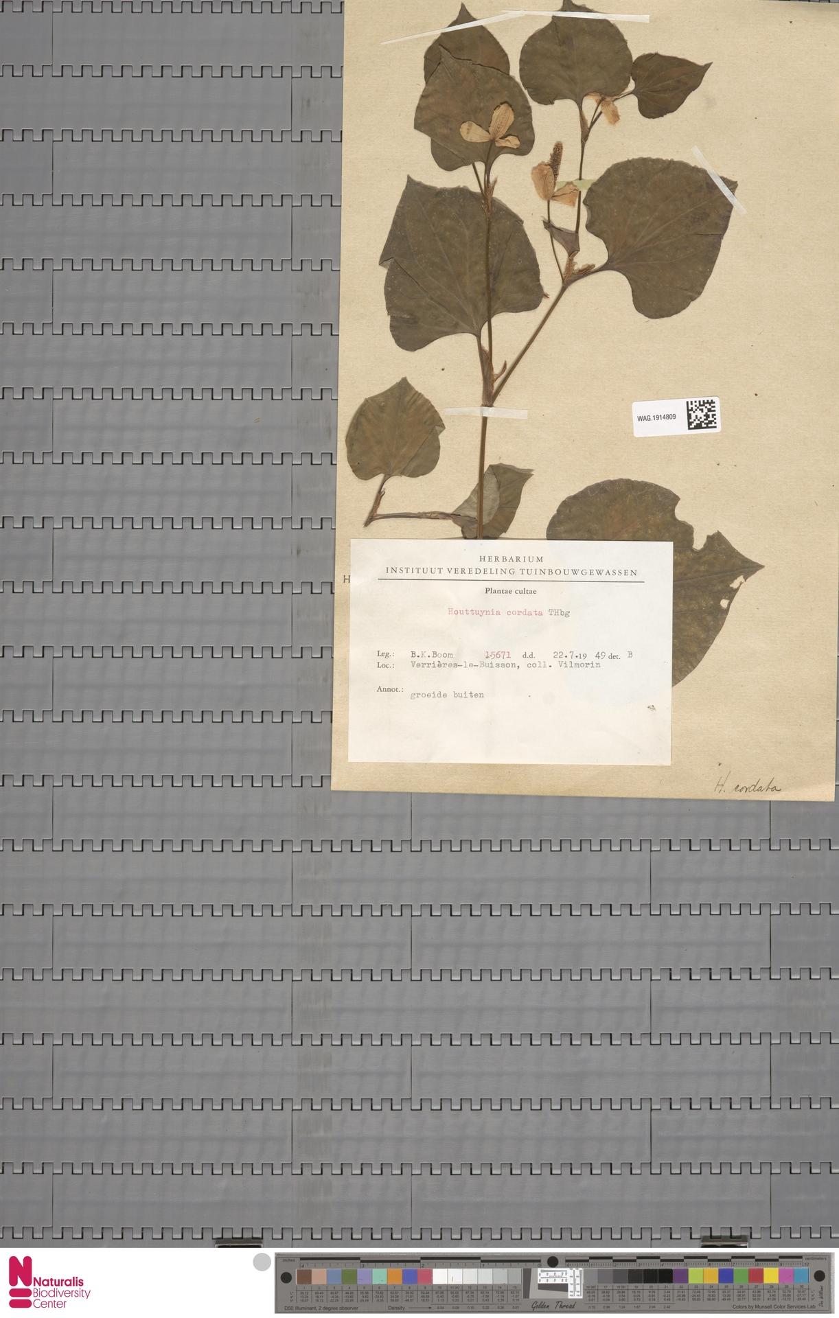 WAG.1914809 | Houttuynia cordata Thunb.