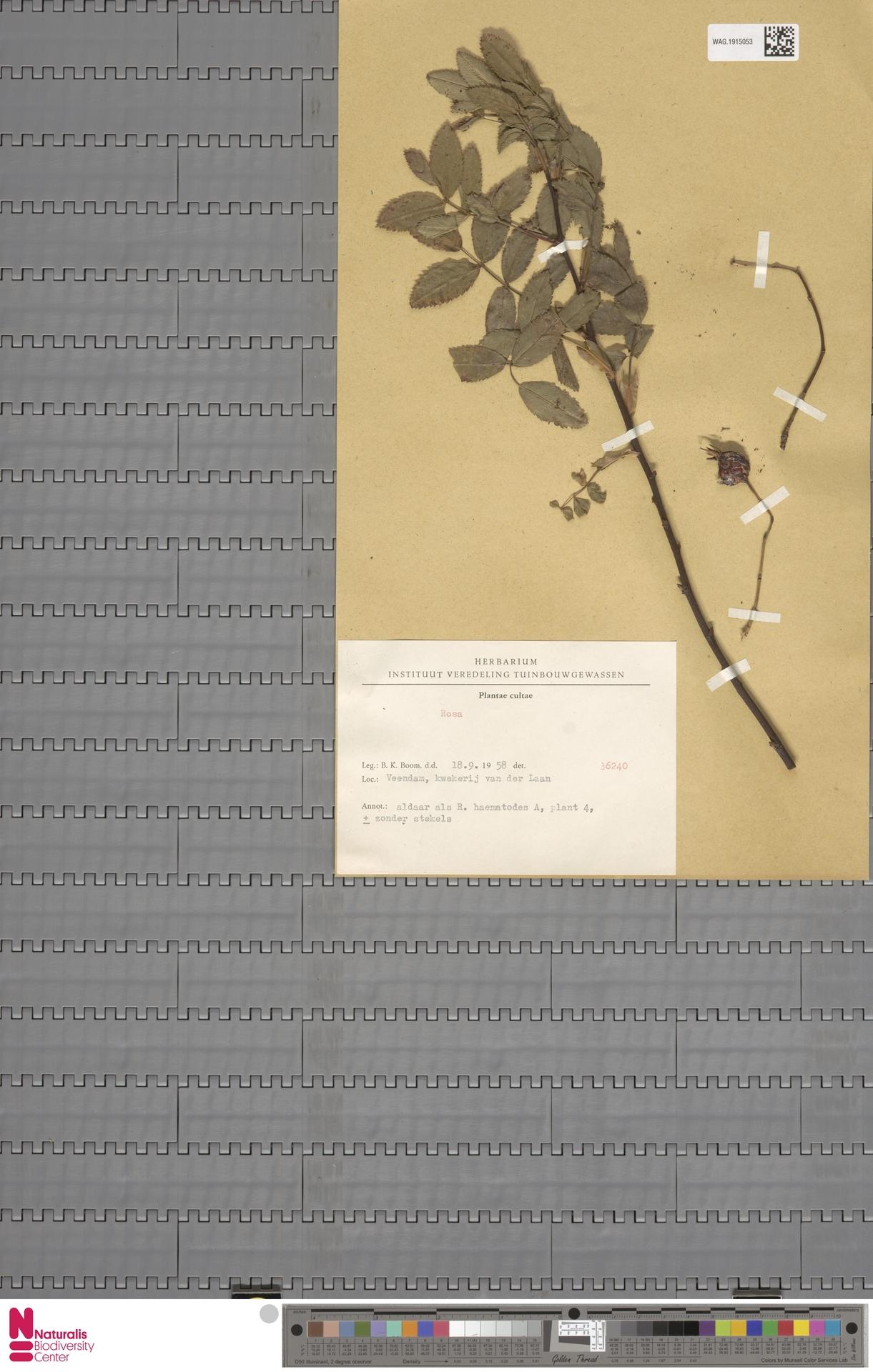 WAG.1915053 | Rosa L.