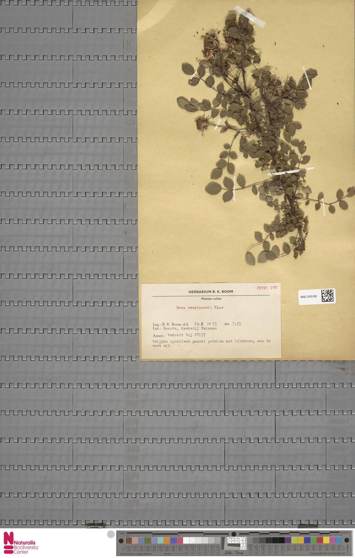 WAG.1915160 | Rosa sweginzowiii Koehne