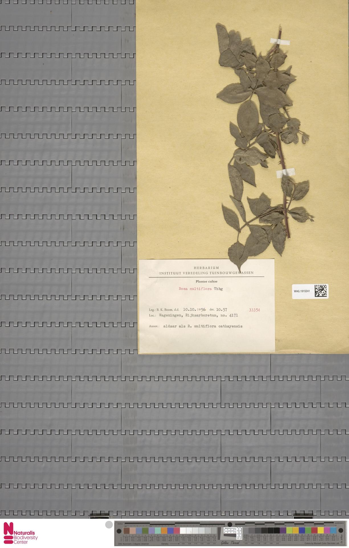 WAG.1915241 | Rosa multiflora Thunb.