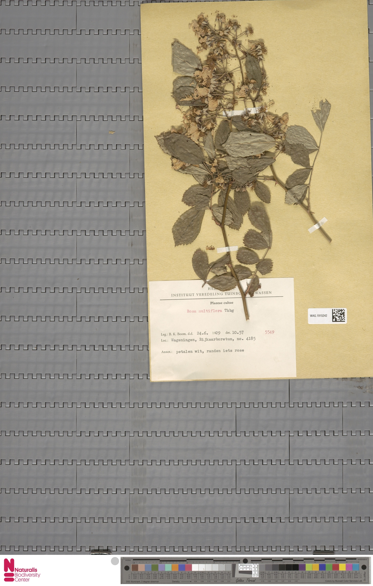 WAG.1915242 | Rosa multiflora Thunb.