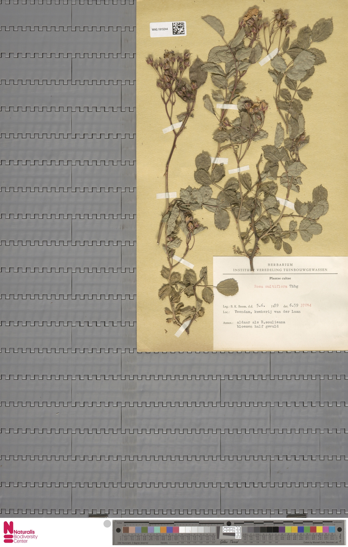 WAG.1915244 | Rosa multiflora Thunb.