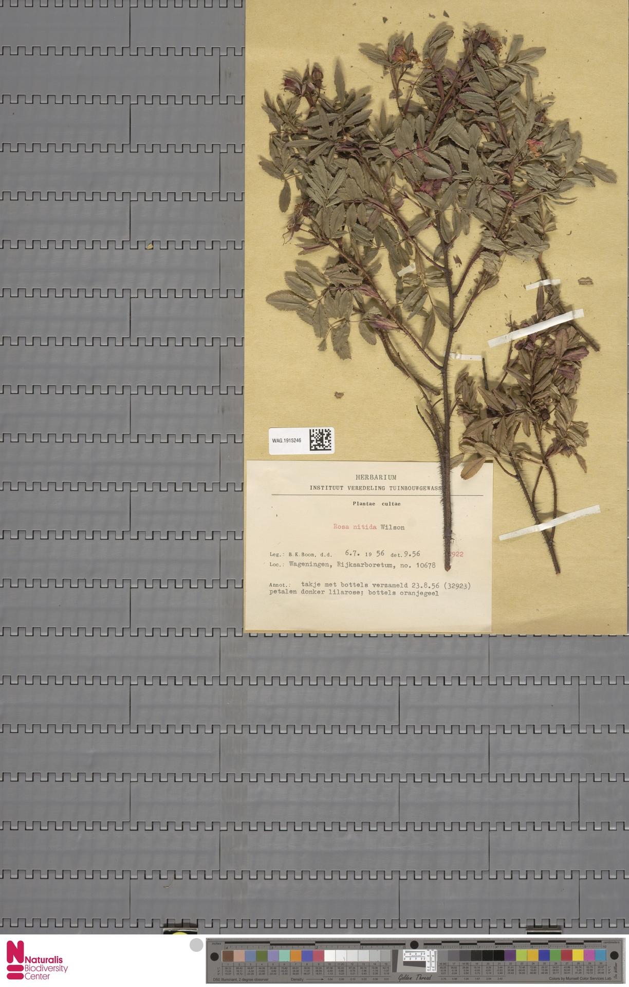 WAG.1915246 | Rosa nitida Willd.