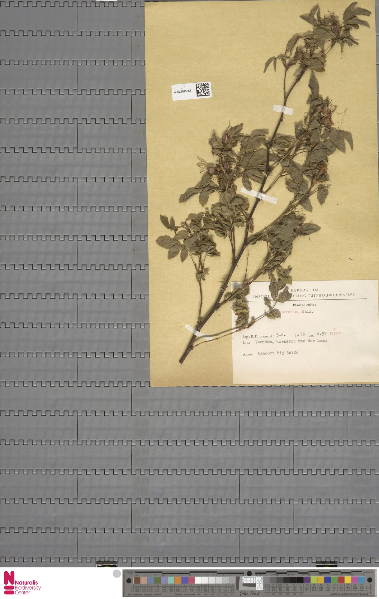 WAG.1915258 | Rosa davurica Pall.