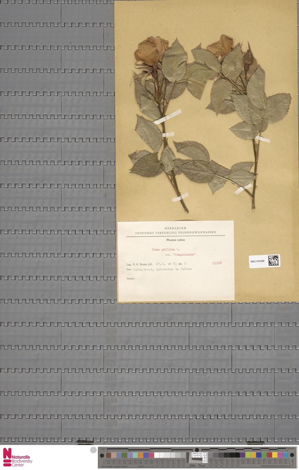 WAG.1915286   Rosa gallica cv. 'Complicata'