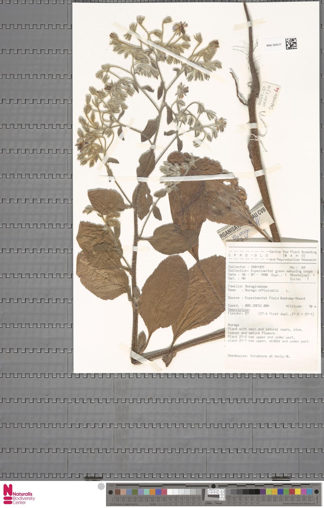 WAG.1916177   Borago officinalis L.
