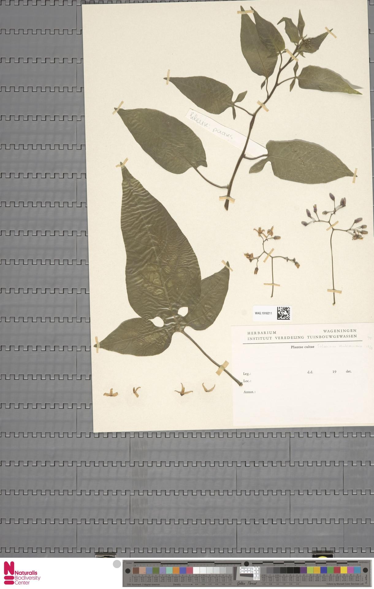 WAG.1916211 | Solanum dulcamara L.