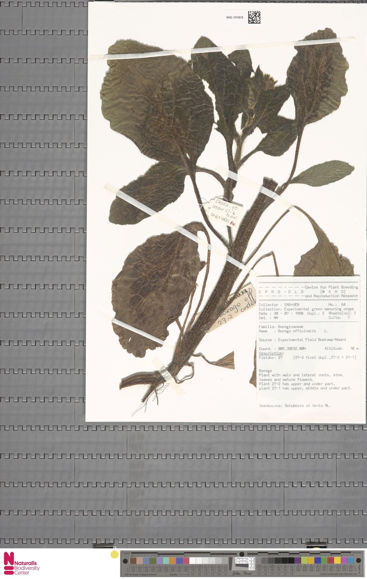 WAG.1916916   Borago officinalis L.