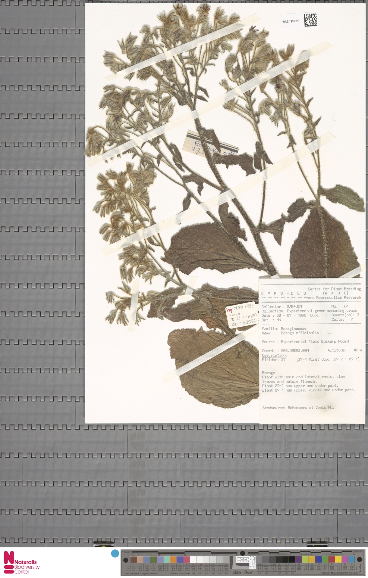 WAG.1916920 | Borago officinalis L.