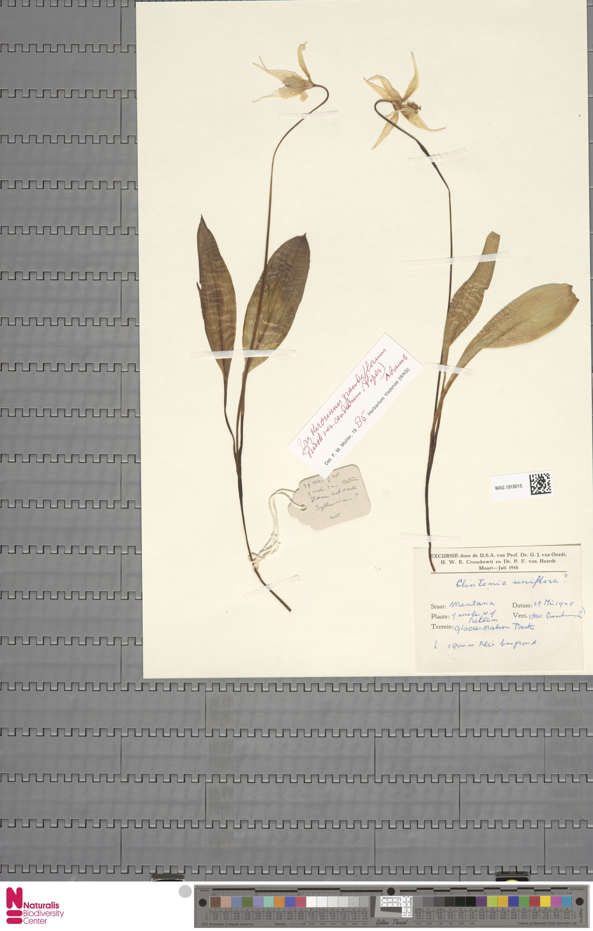 WAG.1918015 | Clintonia uniflora Kunth