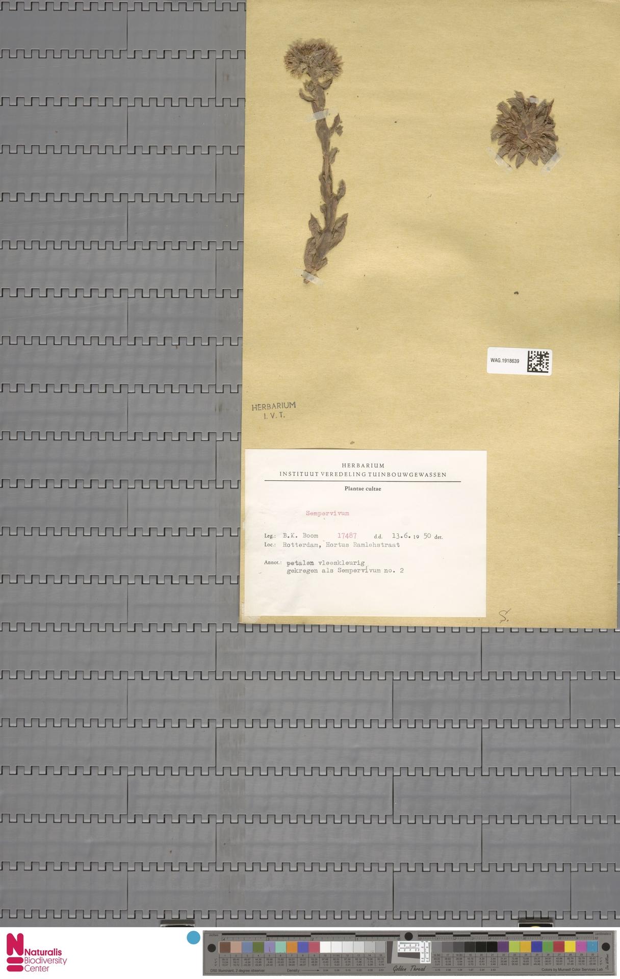WAG.1918639 | Sempervivum L.