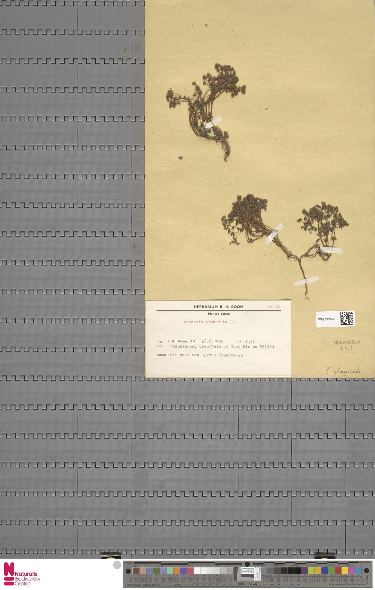 WAG.1918658 | Crassula glomerata P.J.Bergius