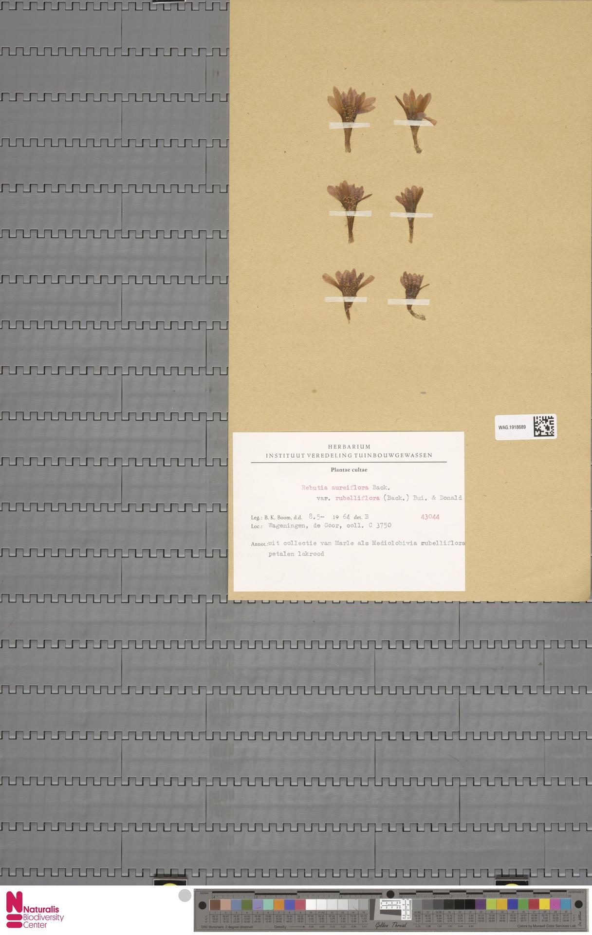 WAG.1918689 | Rebutia aureiflora var. rubelliflora