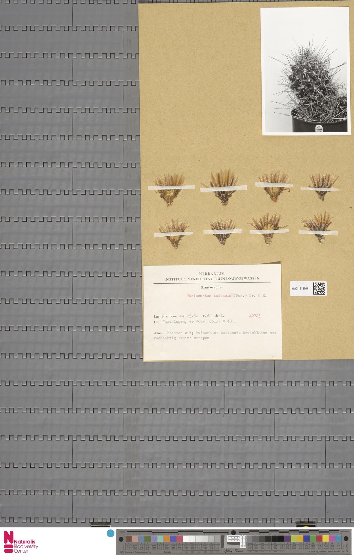 WAG.1918767 | Thelocactus tulensis Britton & Rose