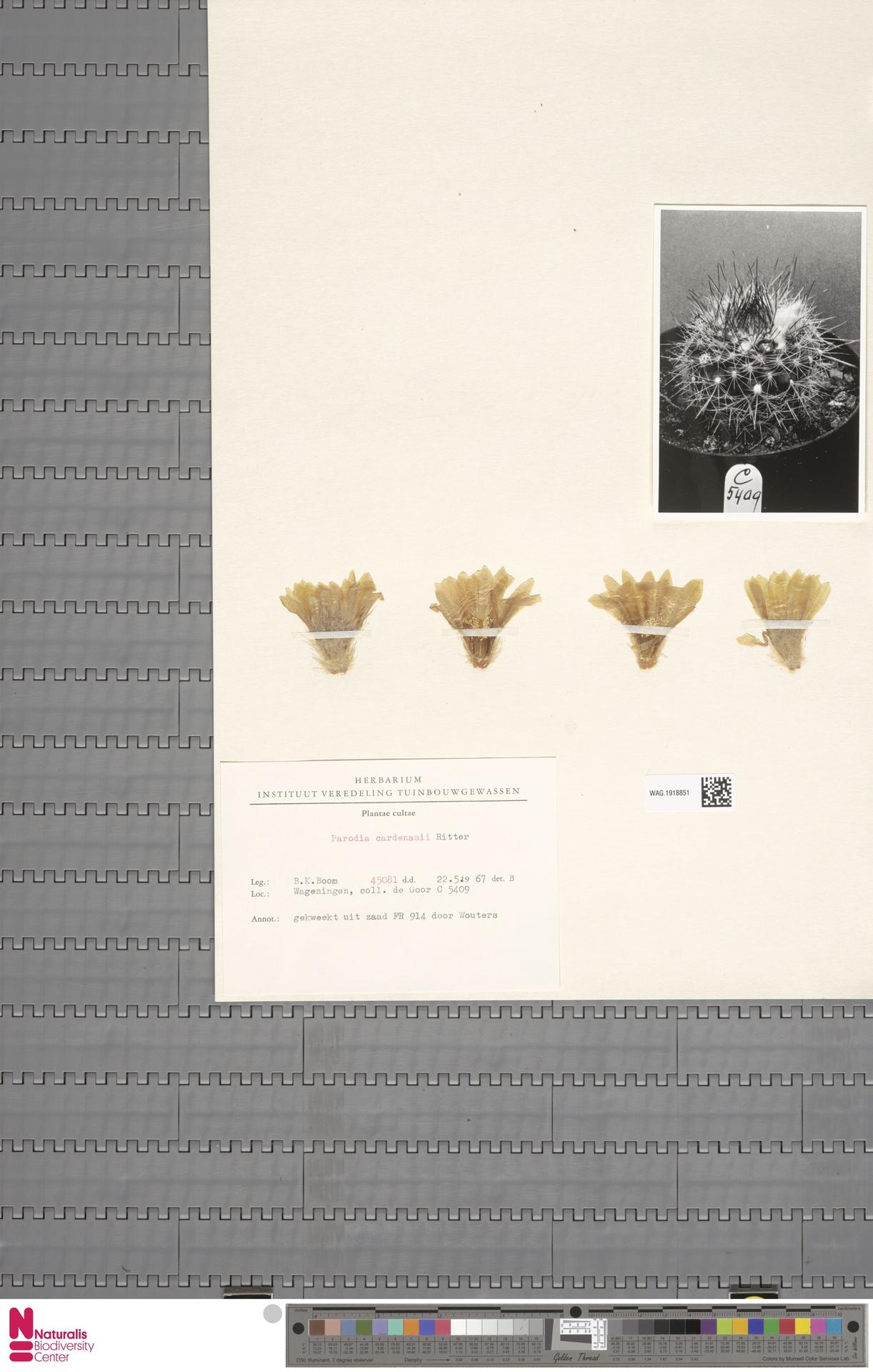 WAG.1918851 | Parodia cardenasii F.Ritter