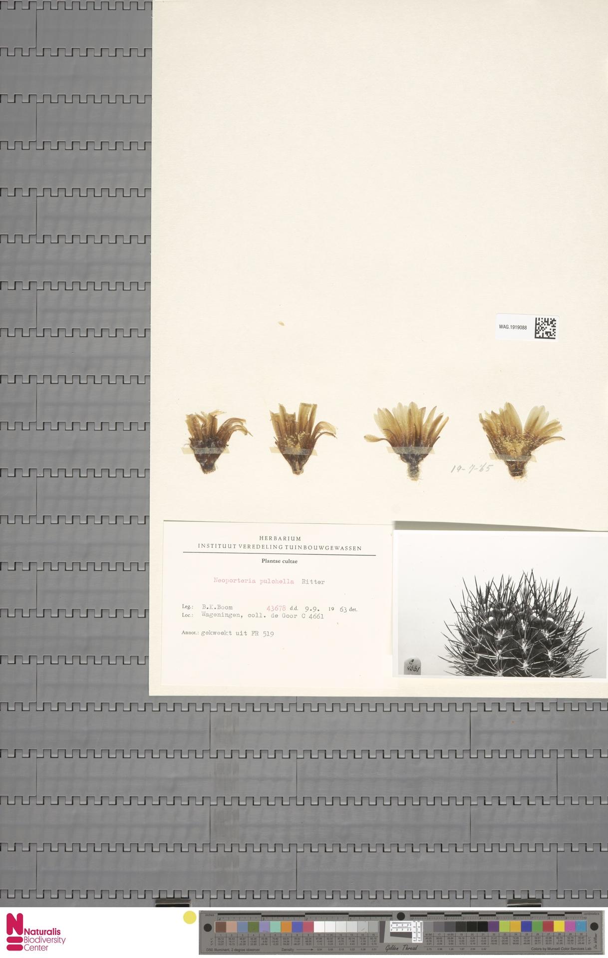 WAG.1919088 | Neoporteria pulchella (F.Ritter)