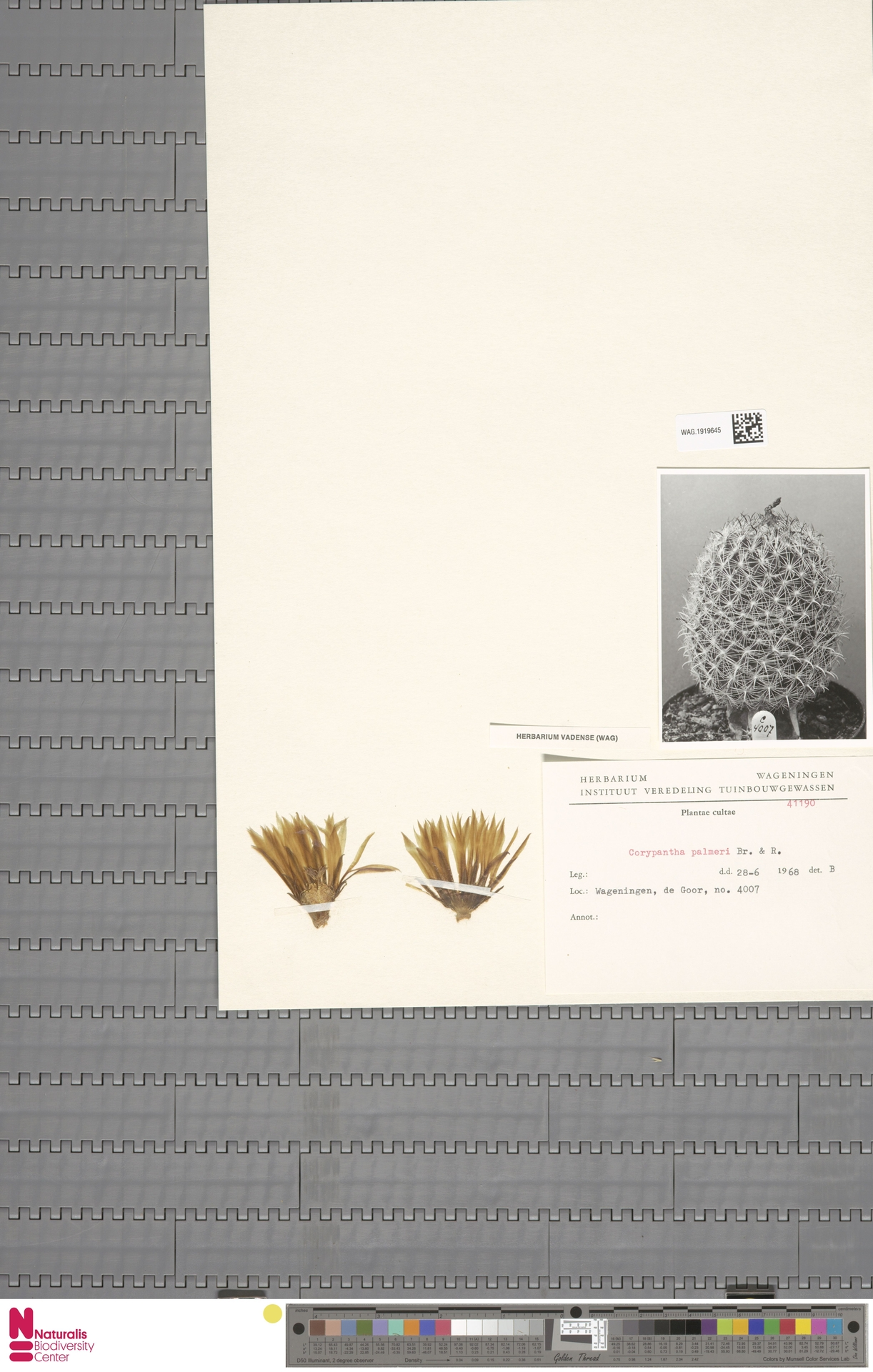 WAG.1919645 | Coryphantha palmeri Britton & Rose