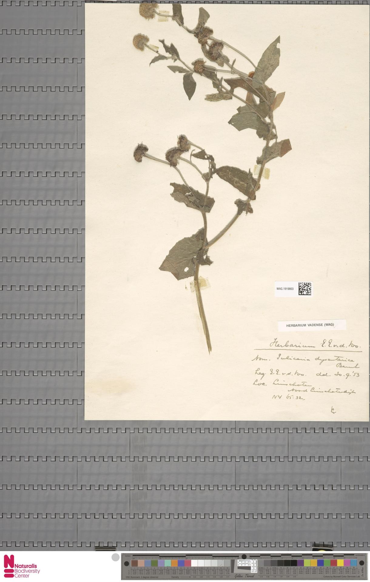 WAG.1919803 | Pulicaria dysenterica (L.) Bernh.
