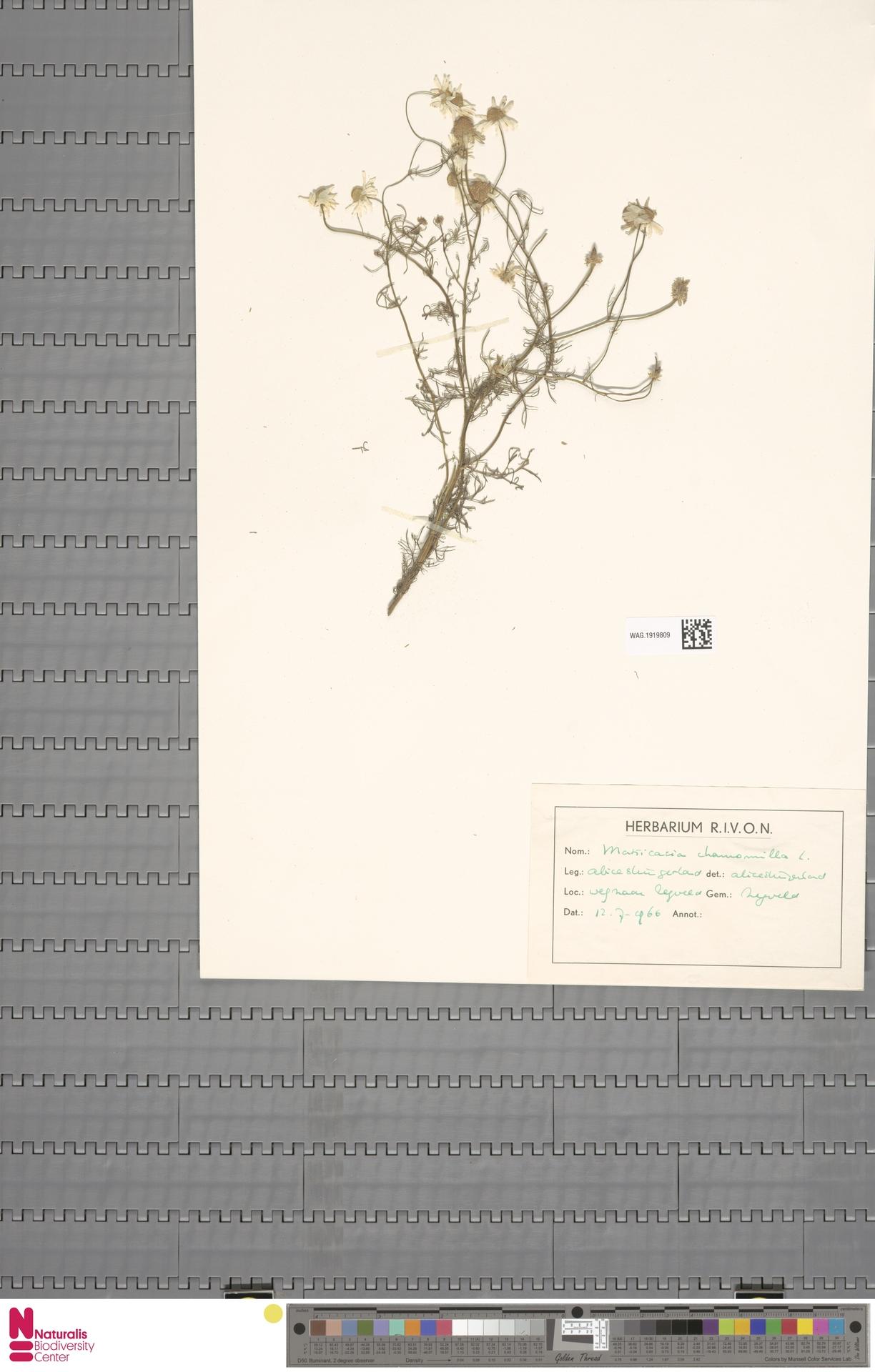 WAG.1919809 | Matricaria chamomilla L.