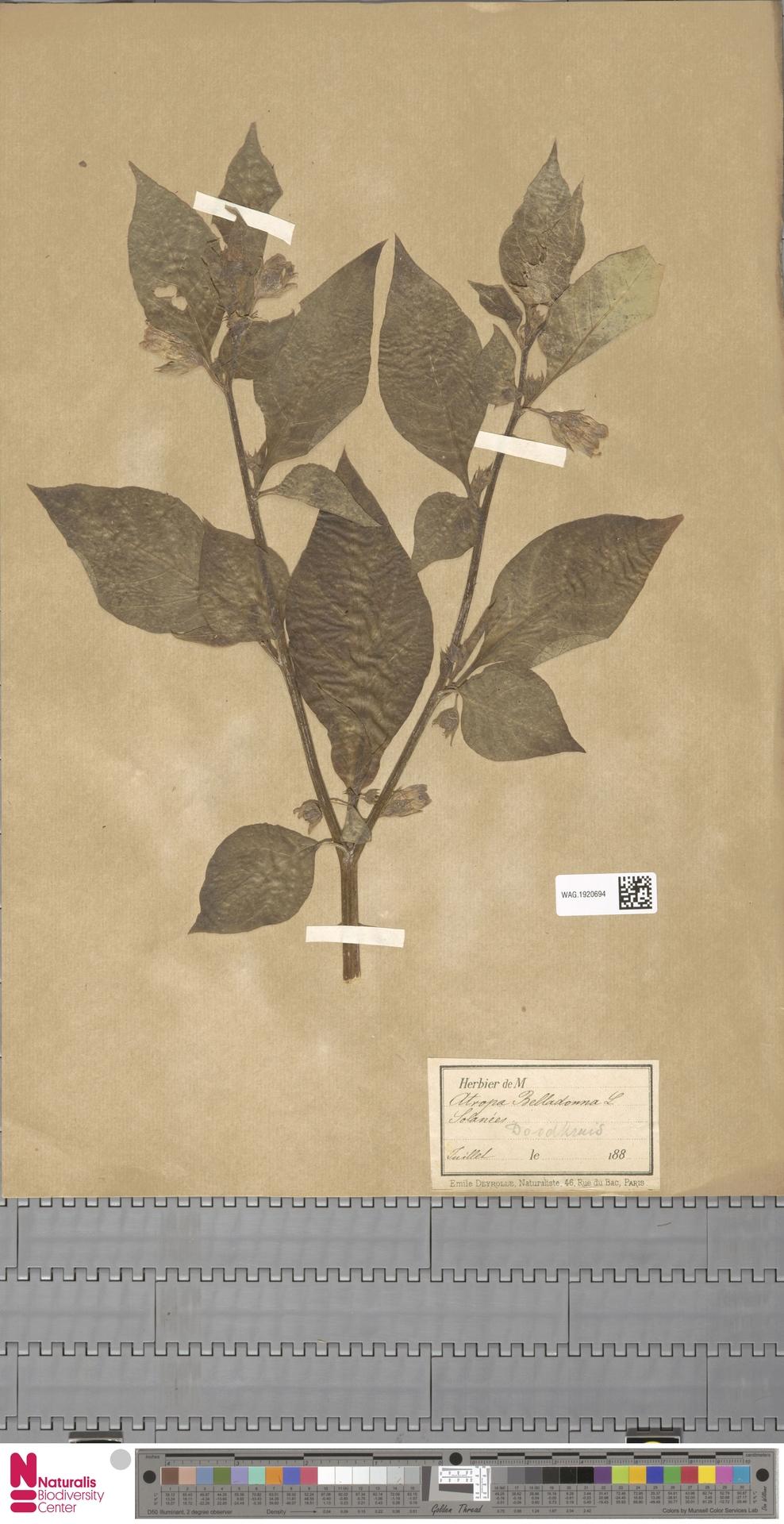 WAG.1920694 | Atropa belladonna L.