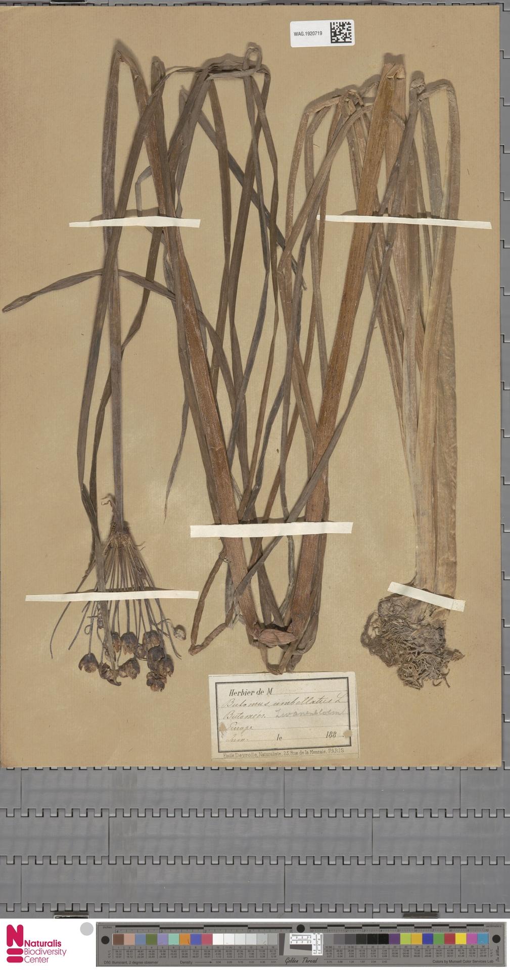 WAG.1920719 | Butomus umbellatus L.