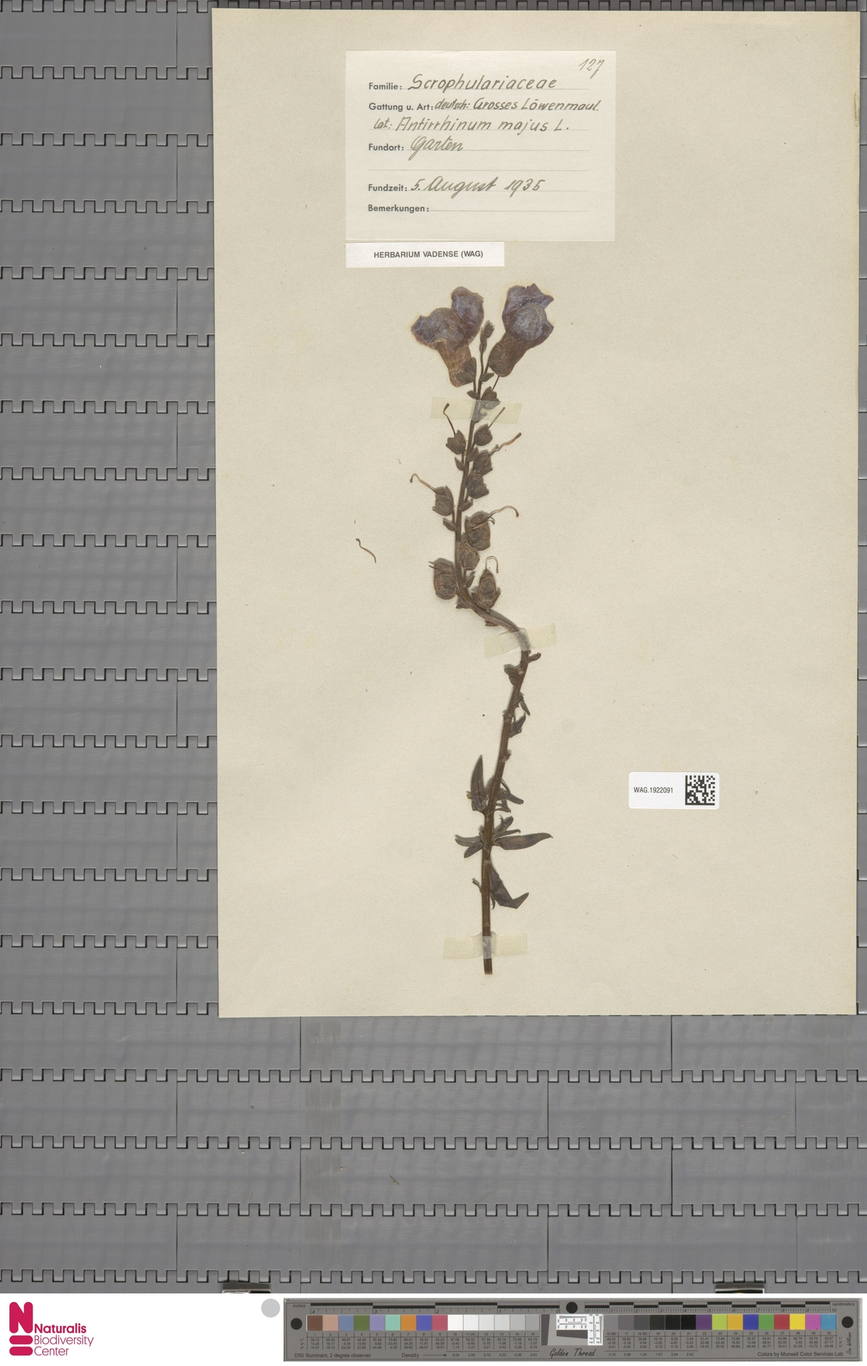 WAG.1922091 | Antirrhinum majus L.