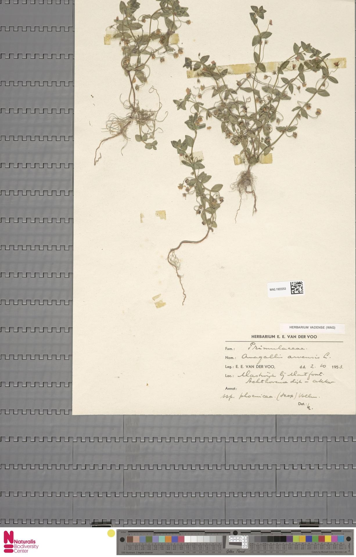 WAG.1922253 | Anagallis arvensis L.