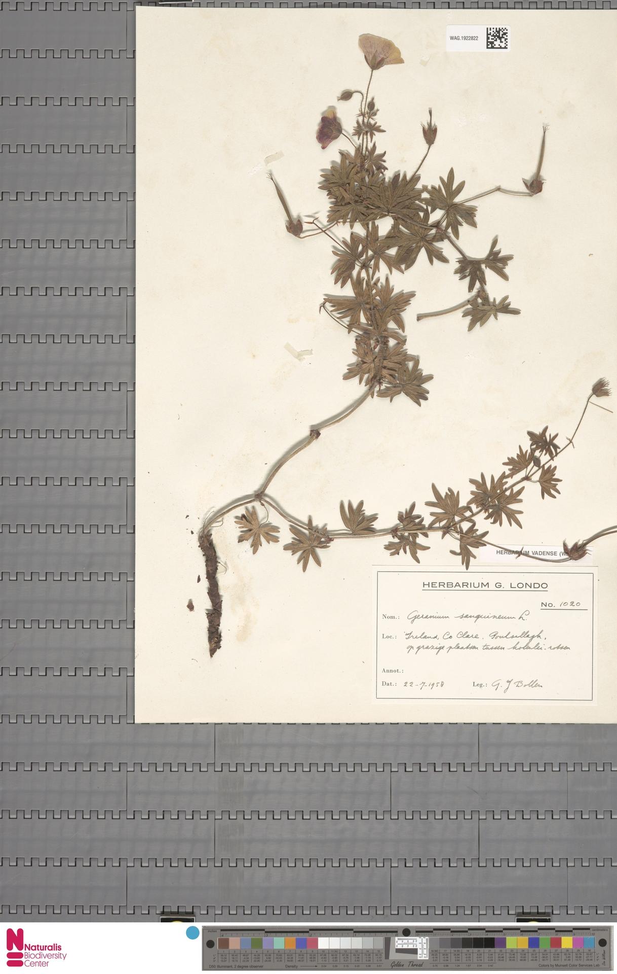 WAG.1922822 | Geranium sanguineum L.
