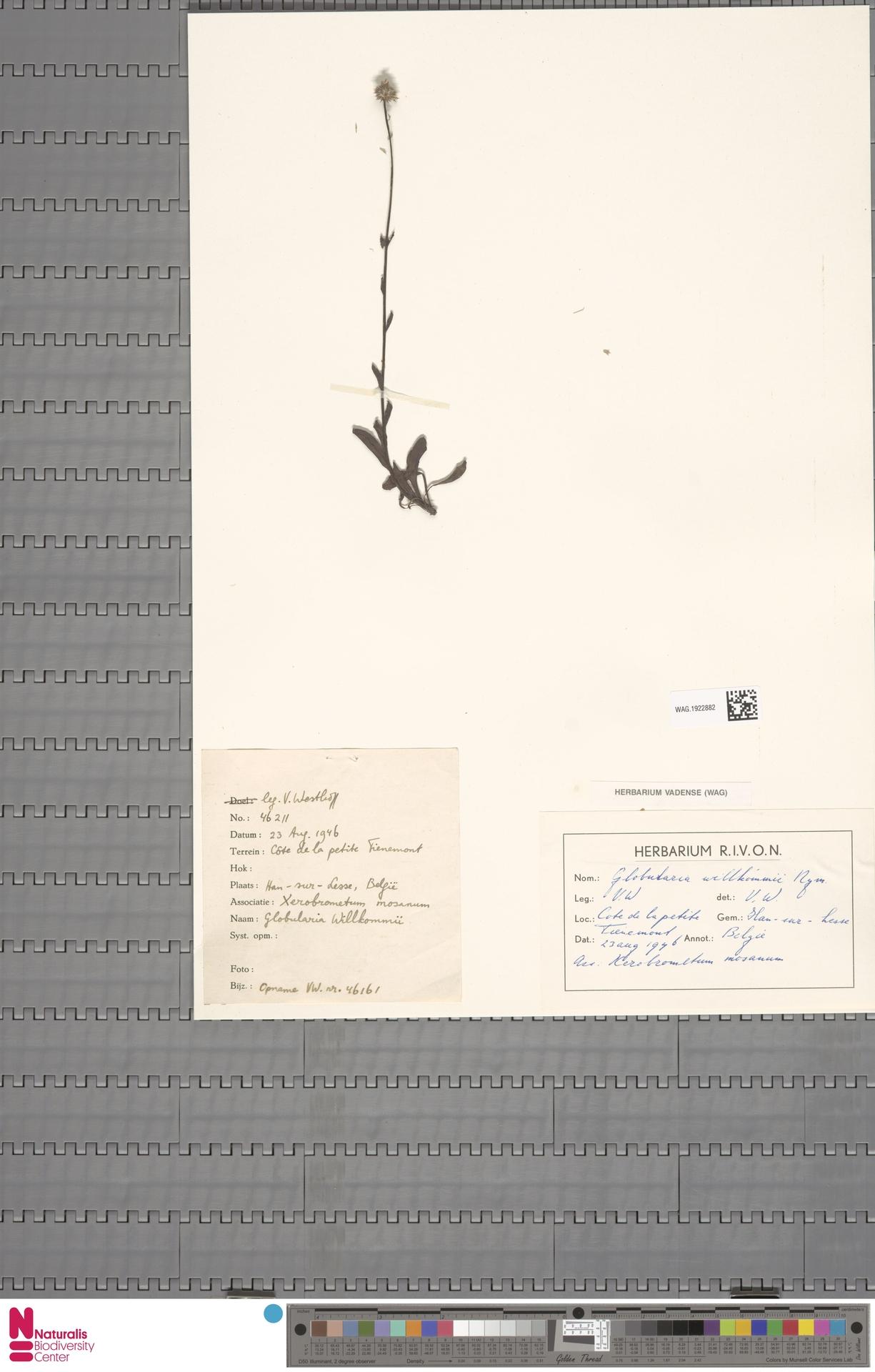 WAG.1922882 | Globularia nudicaulis L.