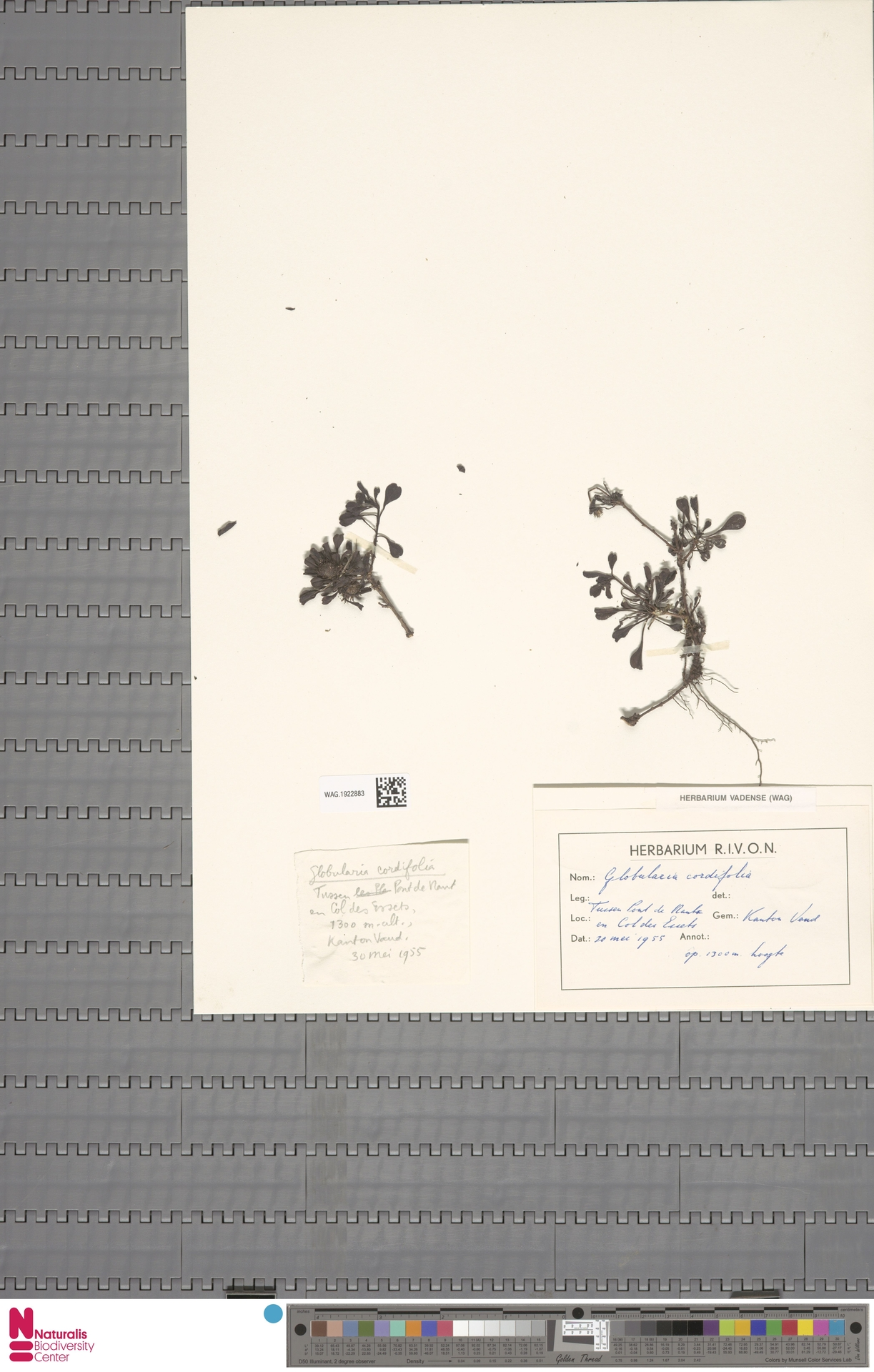 WAG.1922883 | Globularia nudicaulis L.