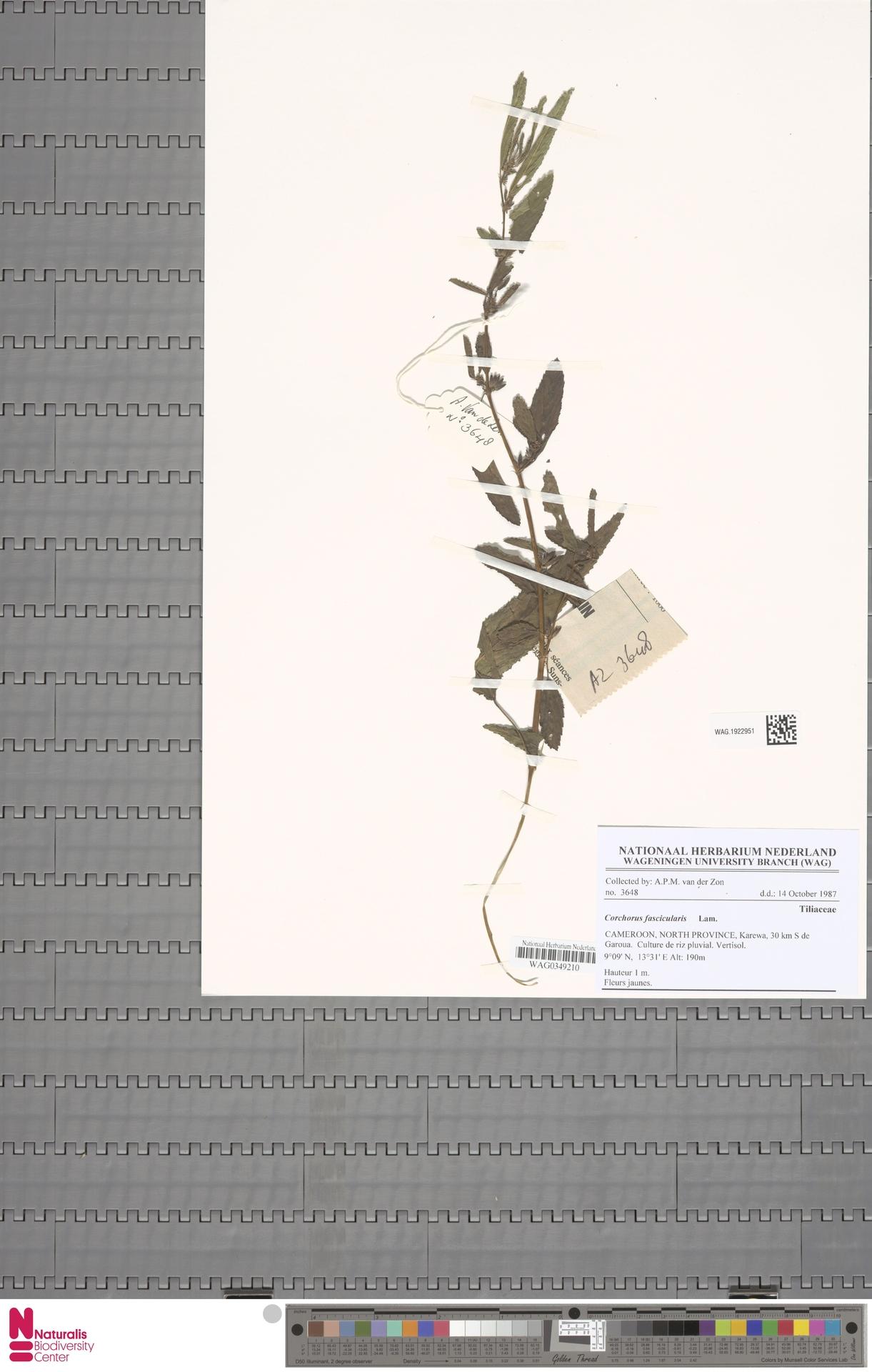 WAG.1922951 | Corchorus fascicularis Lam.