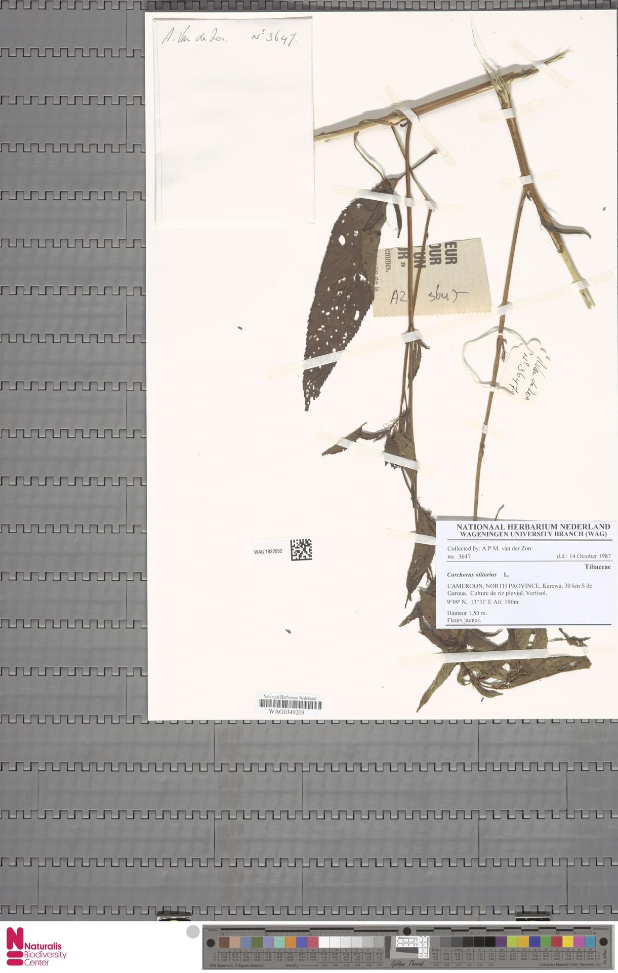 WAG.1922952 | Corchorus olitorius L.