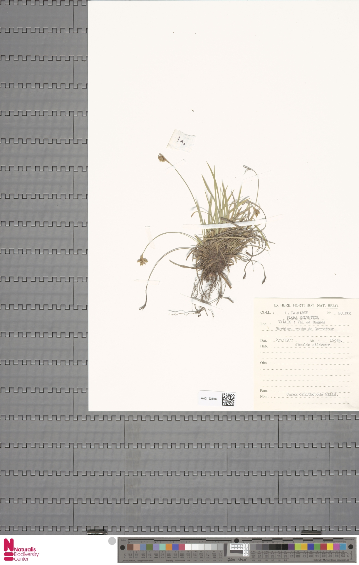 WAG.1923902 | Carex ornithopoda Willd.