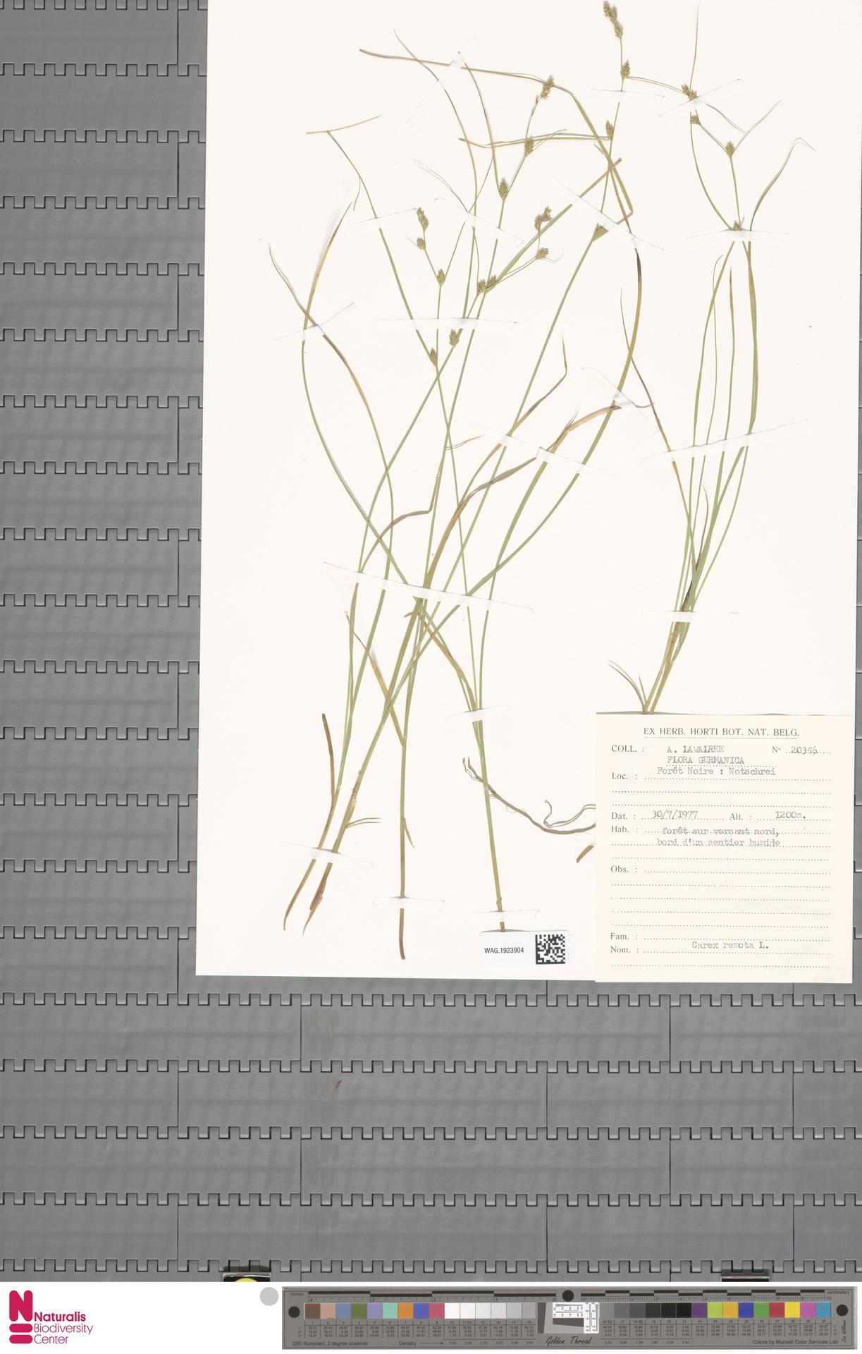 WAG.1923904 | Carex remota L.