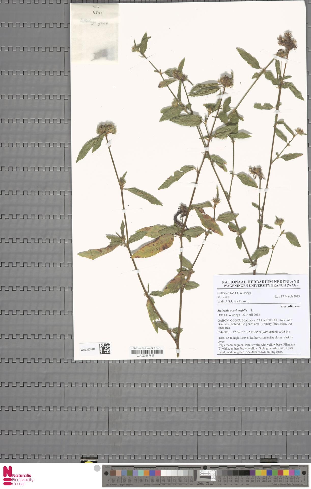 WAG.1925049 | Melochia corchorifolia L.