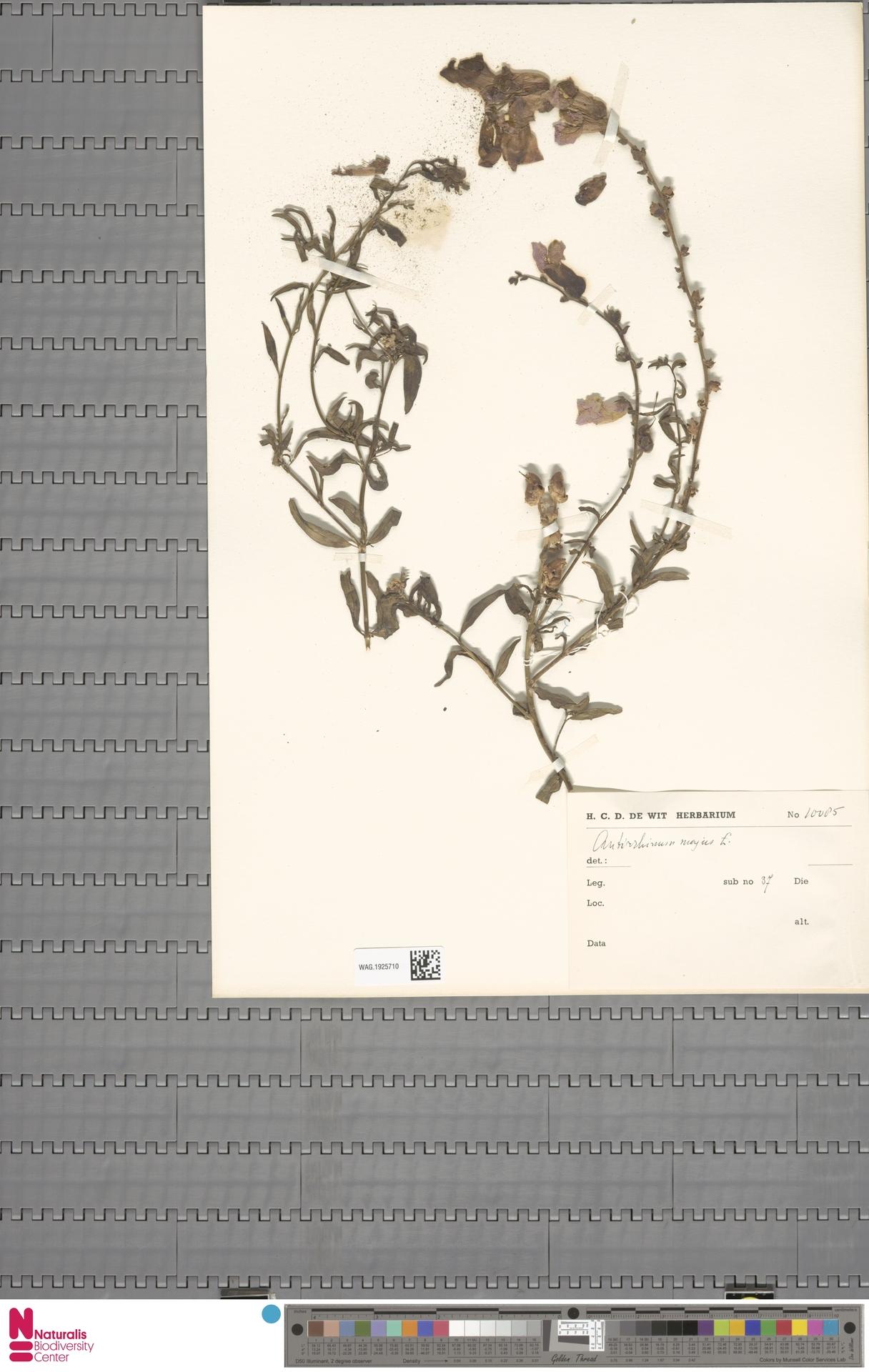 WAG.1925710 | Antirrhinum majus L.